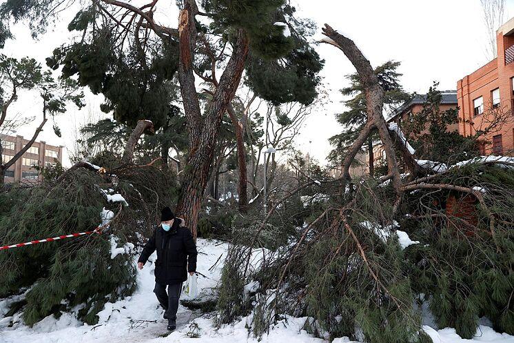 GRAF335.  MADRID.- Un homme marche à côté de plusieurs arbres tombés ...